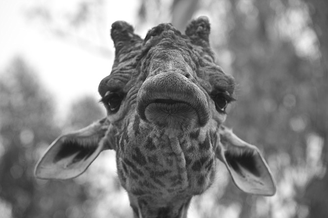 """""""Ok Mr DeMille, I'm ready for my close-up"""".   A seen from """"Sunset  Boulevard"""" at San Diego Zoo"""