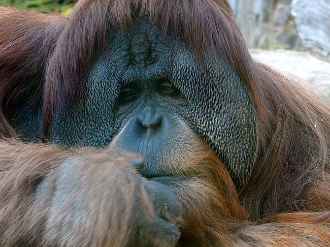 An orangutan at the San Diego Zoo on December 22, 2014, pondering 2015 Resolutions??