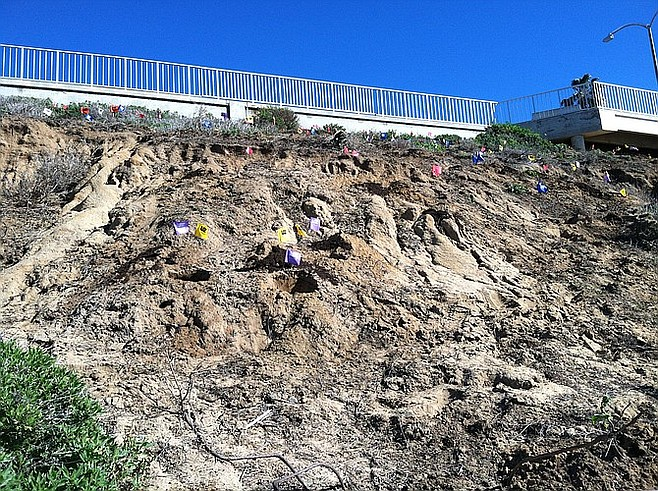 Eroded section of the beach bluff marked with flags where native flora will be planted