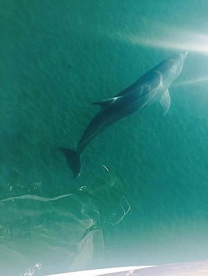 Dolphin swims next to the boat.