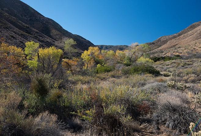 Oriflamme trees along the canyon stream course
