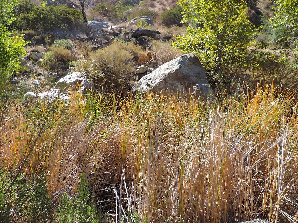 Cedar Creek cattails