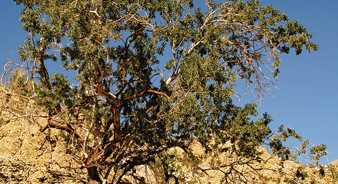 Ironwood trees are found in the wash