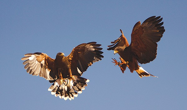 Hayduke and Shanti, both Harris Hawks, are going after a piece of meat that has been tossed in the air