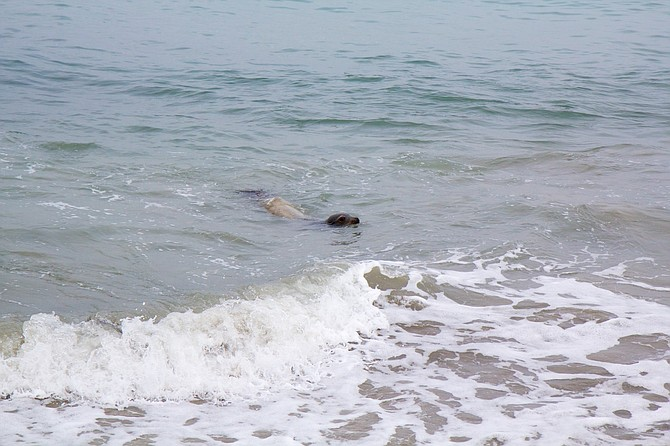 Seal approaching shore just north of the Marine Room