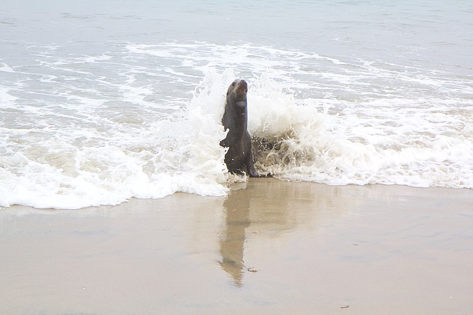 Malnourished seal approaches the shore just north of the Marine Room