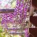 Wisteria flower / Japanese Friendship Garden  Balboa Park / San Diego