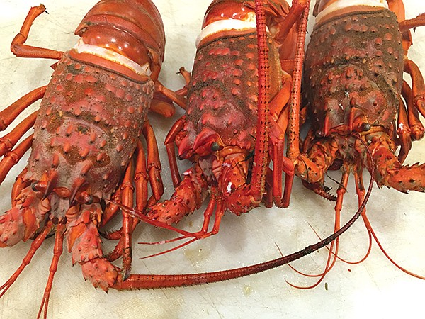 Just in time, Berkley nabbed enough lobsters for his party.