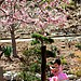Cherry Blossom Festival 2015 Japanese Friendship Garden  Balboa Park / San Diego