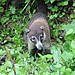 Coatis are a common sight in Costa Rica and not afraid of humans.