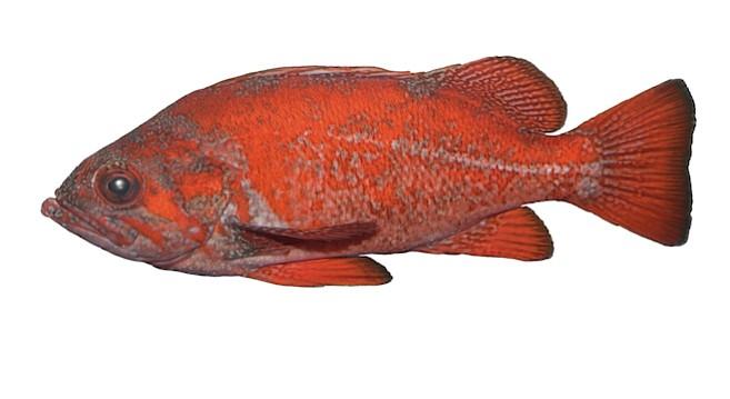 Vermilion rockfish