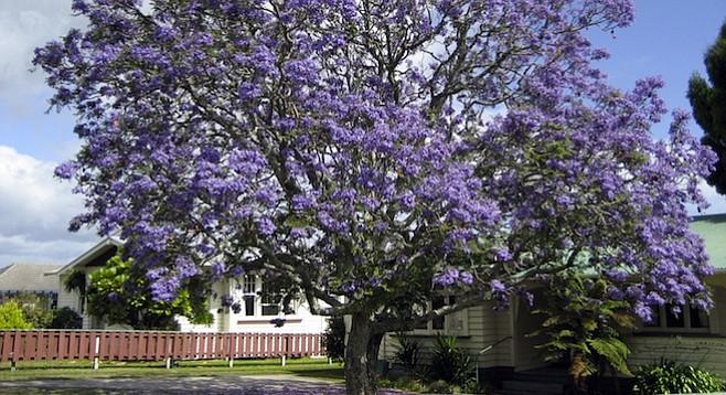 Jacaranda tree (in New Zealand)
