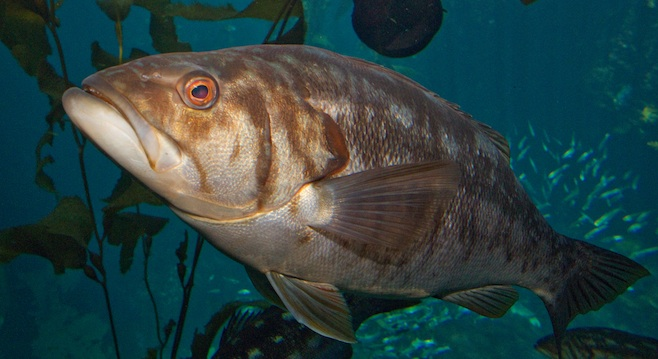 Calico bass live to die another day san diego reader for Calico bass fishing