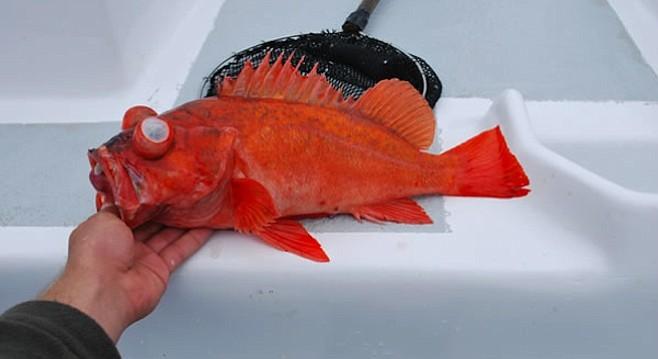 Vermillion rockfish