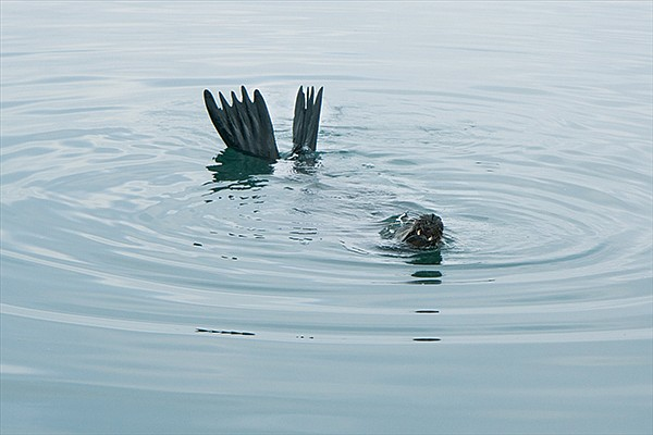 Sea lions crush lobster cages to get to the bait inside
