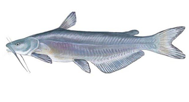 Photo blue catfish san diego reader for Blue cat fishing