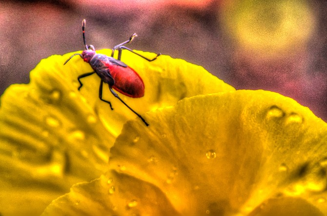 Little Bug on a Flower in East County