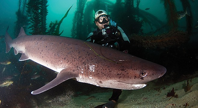 Sevengill shark in La Jolla - Image by Greg Amptman