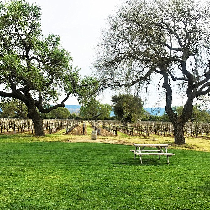 Twin oaks at Santa Ynez's Roblar Winery. One of them, Big Ben, is struck by lightning every 10 years.