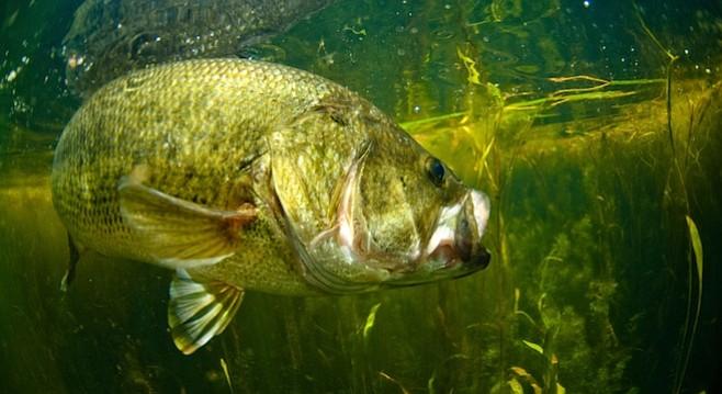 Largemouth bass - Image by Andy Bowen