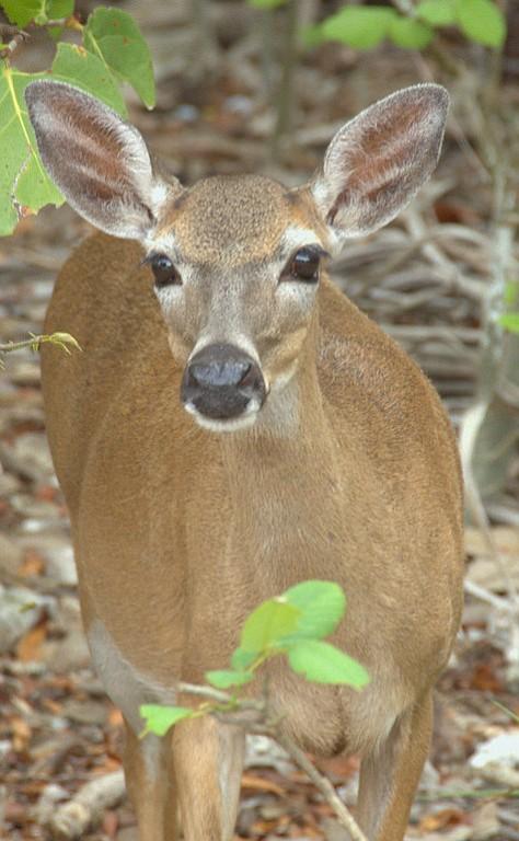 Endangered Key Deer on Big Pine Key