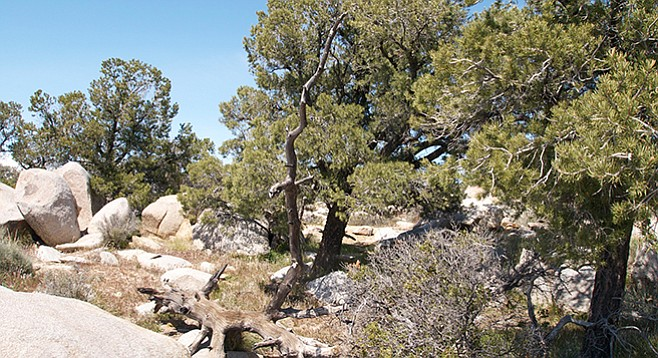 Pinyon pine forest