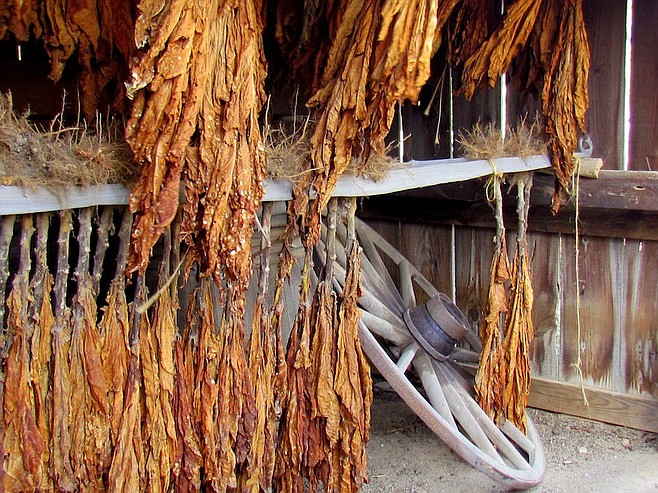 Tobacco dries in a drying barn.
