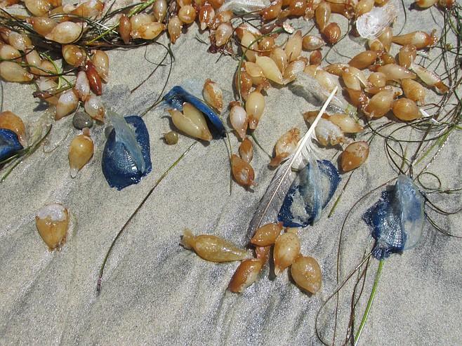 Velella Velellas wash up on shore.