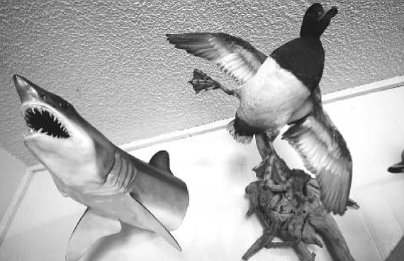 Mako shark and greater scaup. Moreau prefers mounting fish the old-fashioned way also, which is called skin-mounting and is much more time-consuming, does take a real fish.