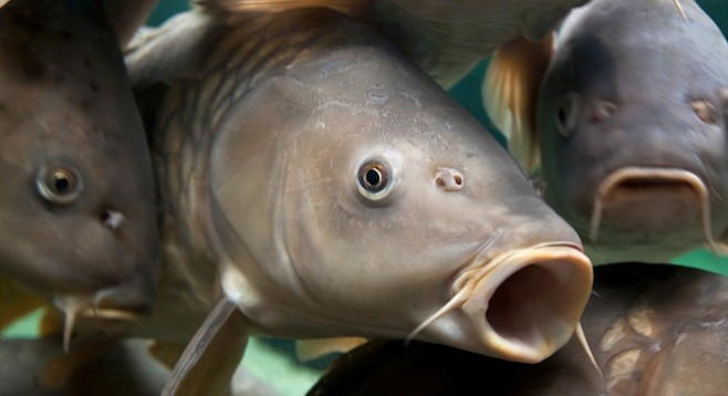 Keep those cuyamaca carp san diego reader for Point loma fish counts