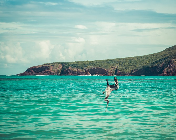 A pelican looking for an afternoon snack gets vertical on this dive into the turquoise clear waters off Flamenco Beach, Culebra, Puerto Rico.