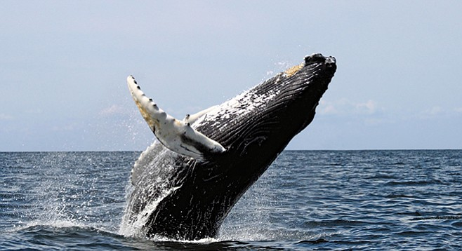 Whales are more likely to be struck by oceangoing vessels nowadays.