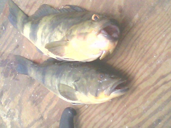 "These sand bass were caught in San Quintin Bay. The one on the top had an exceptionally small mouth and bugged out angry eyes. I have never seen one like this...I call it ""the Donald"" bass."