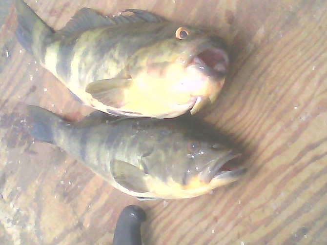 """These sand bass were caught in San Quintin Bay. The one on the top had an exceptionally small mouth and bugged out angry eyes. I have never seen one like this...I call it """"the Donald"""" bass."""