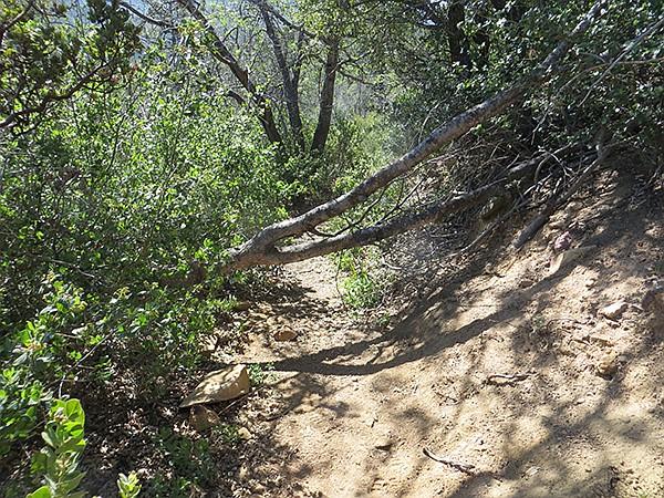 Downed tree on Pine Ridge Trail