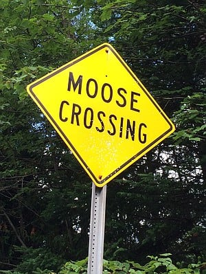 Watch out for wandering moose.