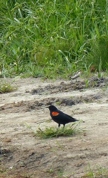 Redwing blackbird on the shore