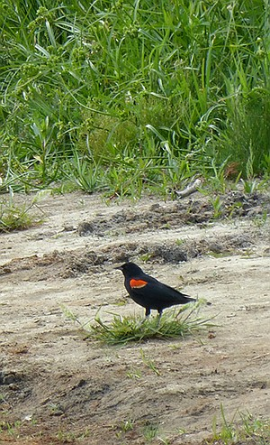 Redwing blackbird on the shore