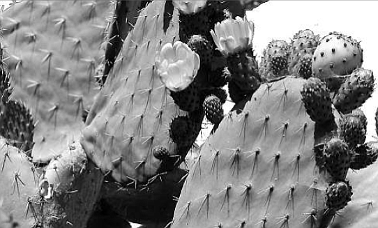 """Prickly pear cactus. The tuna fish and the fruit of the prickly pear cactus, the """"tuna fruit,"""" look more than a little alike."""