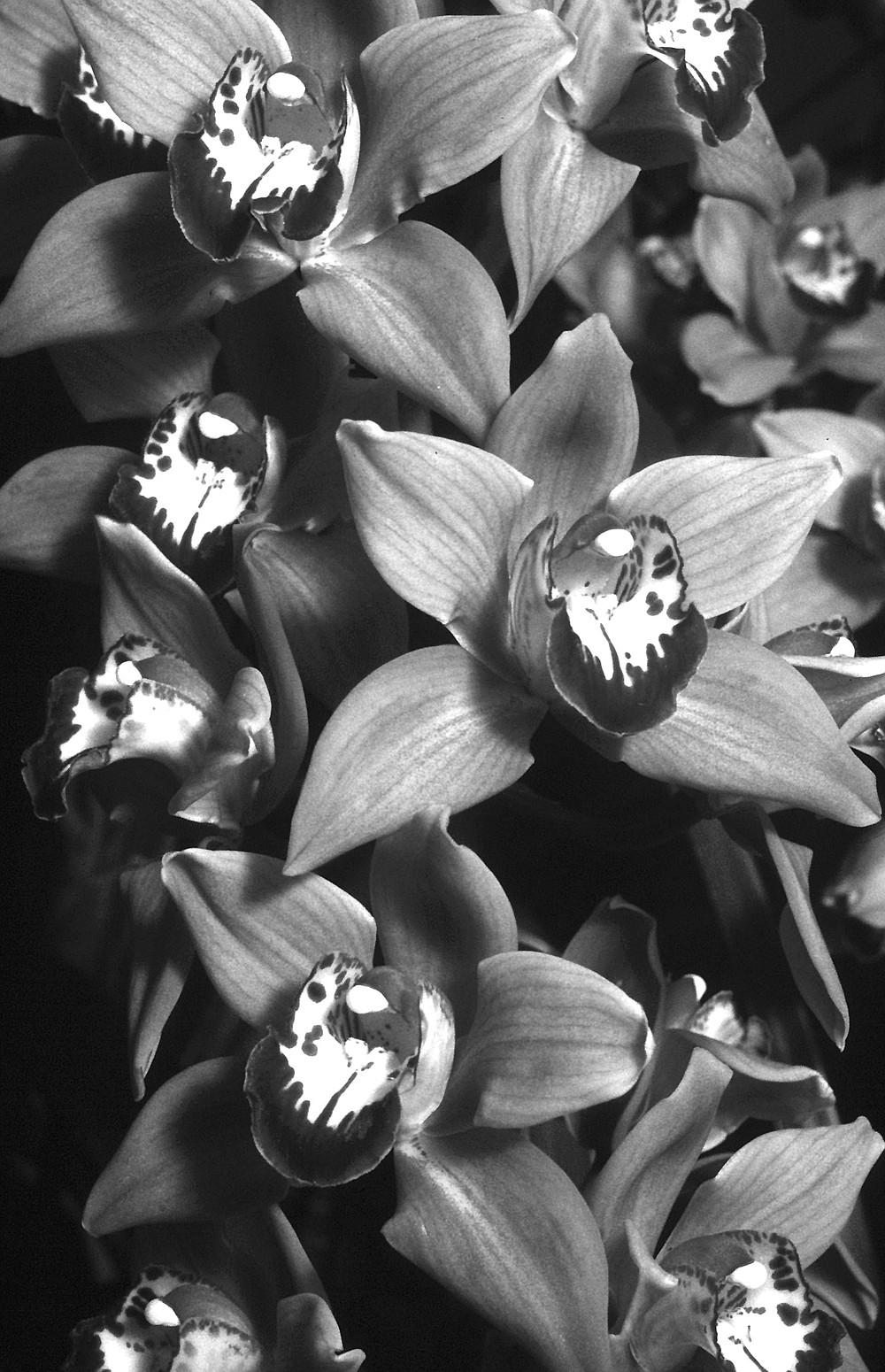 Abernathy Cymbidium hybrid