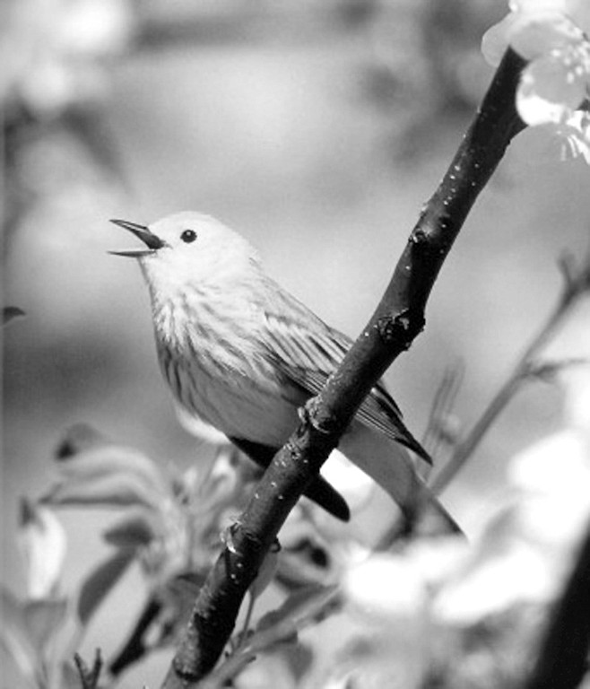 """Yellow warbler: """"We recorded only a single instance of cowbird parasitism on the Yellow Warbler — a female feeding a fledgling cowbird in Kit Carson Park."""""""