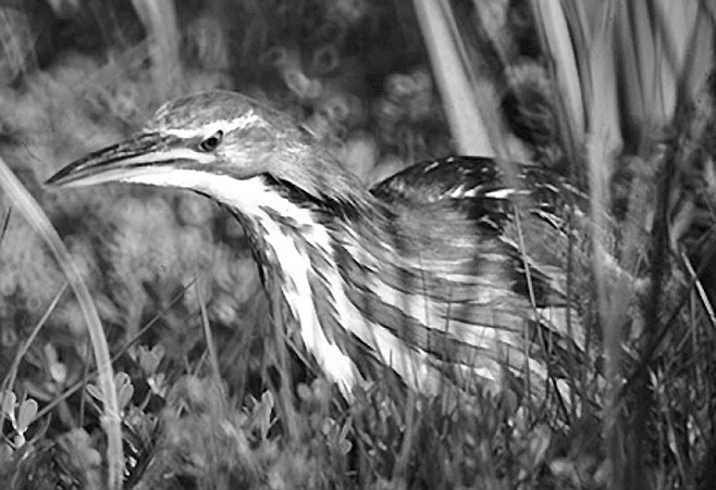"They saw a pair of American Bitterns at Camp Pendleton, along with a juvenile, hiding in cattails.  ""It's like a heron or an egret, but short-legged, and its breast is streaked with white and tan."""