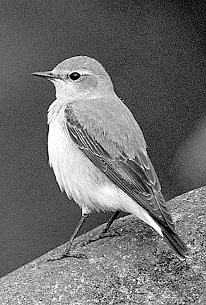 "Northern wheatear. The wheatear ""barely enters North America."""