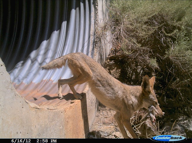Coyote with lunch