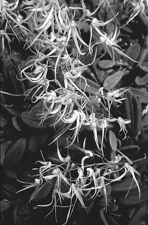 Dendrobium lingueforme