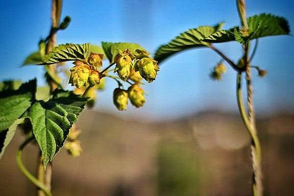 Nopalito expects to harvest over 2000 pounds of hops this August.