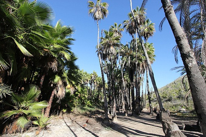 Palm grove in aptly named Playa Las Palmas, Todos Santos.