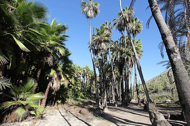 Palm grove in aptly named Playa Las Palmas, Todos Santos.