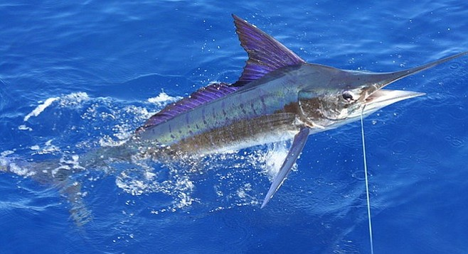 Striped marlin off the coast of Carrillo