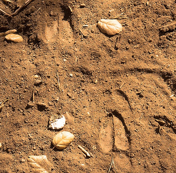 Tracks left by a deer along Harper Creek.